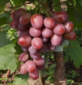 Саженец Винограда Парижанка: фото и описание