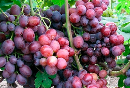Саженец Винограда Подарок Несветая: фото и описание