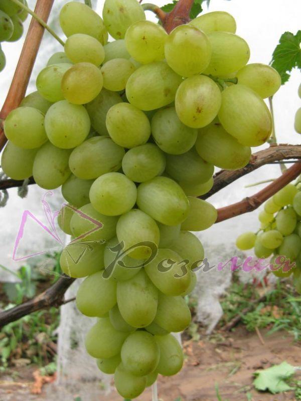 Саженец Винограда Подарок Запорожью: фото и описание