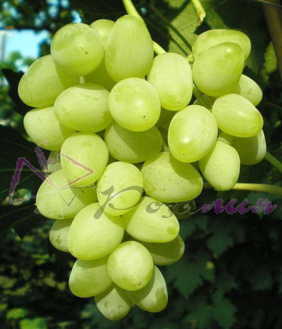 Саженец Винограда Прелесть: фото и описание