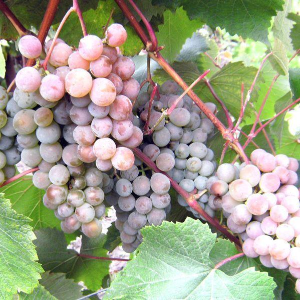 Саженец Винограда Розовый Жемчуг: фото и описание