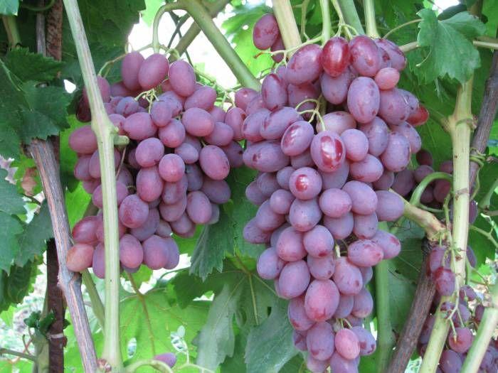 Саженец Винограда Румба: фото и описание