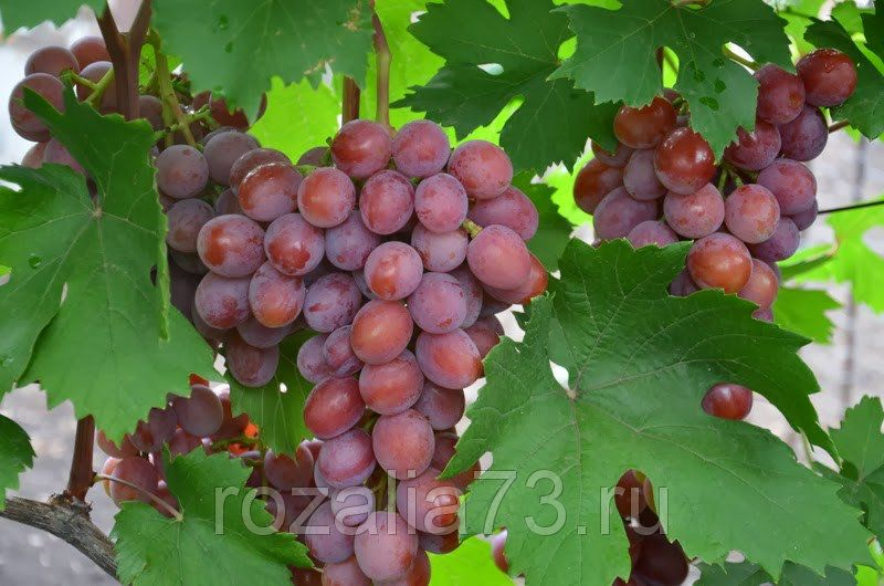 Саженец Винограда Сиреневый Туман: фото и описание