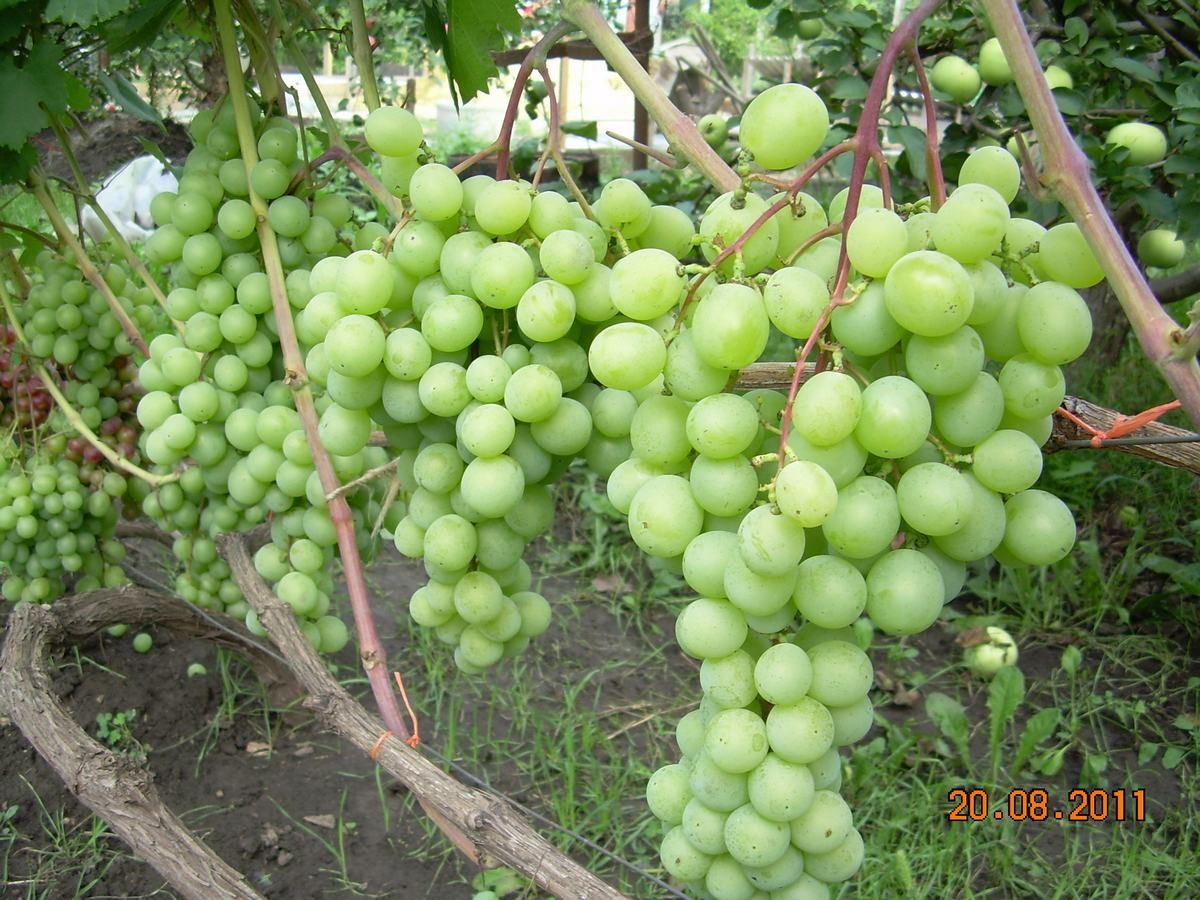 Саженец Винограда Талисман: фото и описание