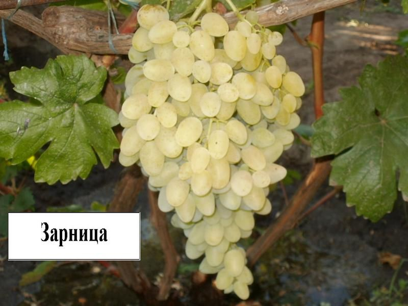 Саженец Винограда Зарница: фото и описание