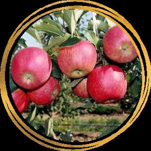 Саженец яблони Афродита: фото и описание