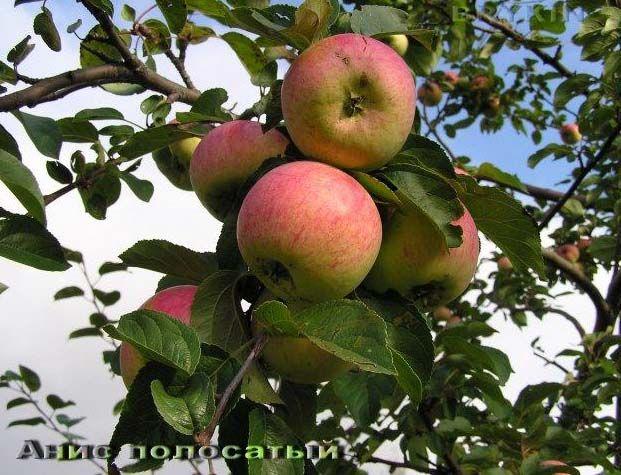 Саженец яблони Анис полосатый: фото и описание