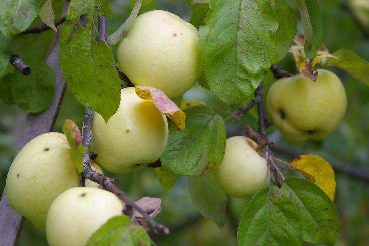 Саженец яблони Антоновка: фото и описание