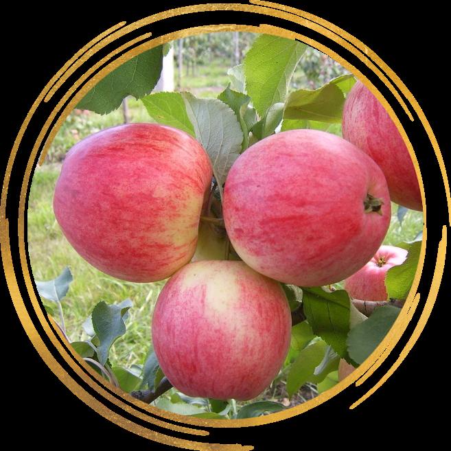 Саженец яблони Августа: фото и описание