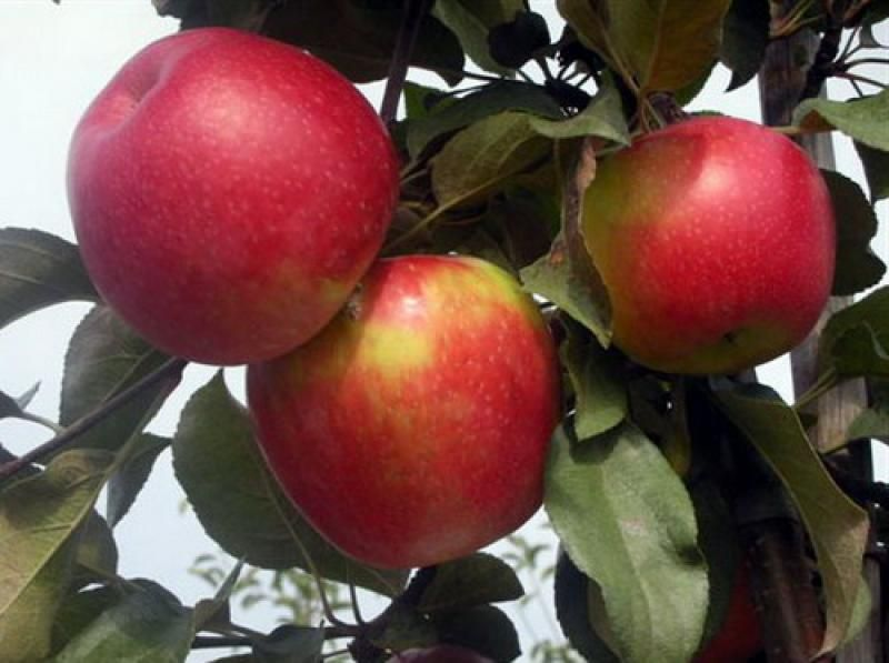 Саженец яблони Айдаред: фото и описание