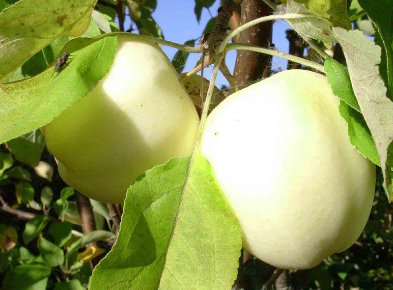 Саженец яблони Белый налив: фото и описание