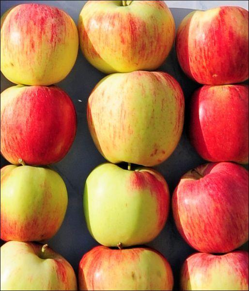 Саженец яблони Бессемянка: фото и описание