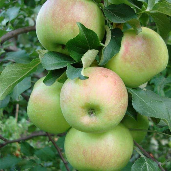 Саженец яблони Богатырь: фото и описание