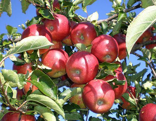 Саженец яблони Джонаголд: фото и описание