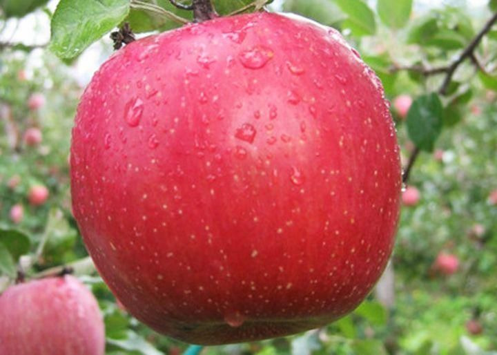 Саженец яблони Фуджи: фото и описание