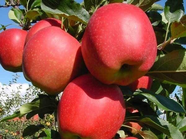 Саженец яблони Гала Маст: фото и описание