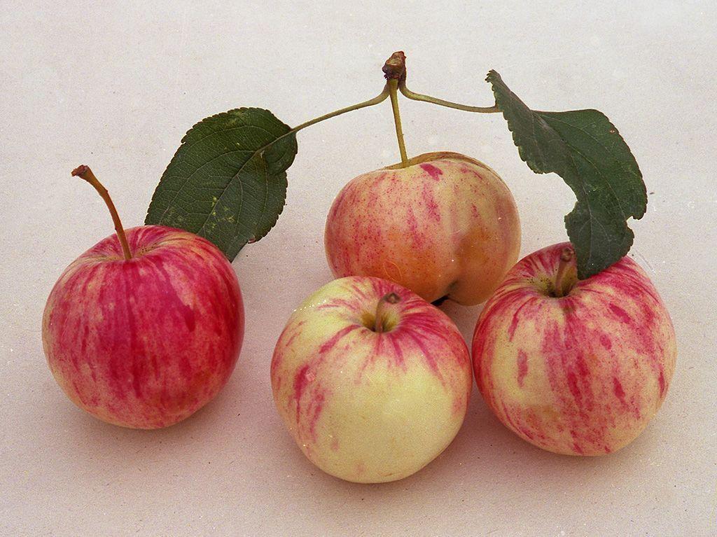 Саженец яблони Грушовка ранняя: фото и описание