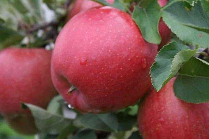 Саженец яблони Хани Крисп: фото и описание