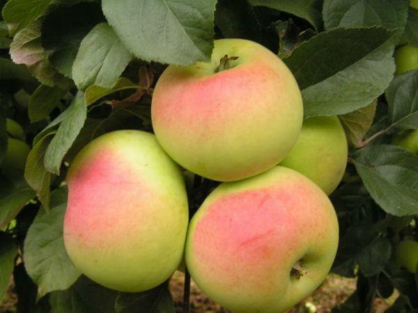 Саженец яблони Имрус: фото и описание