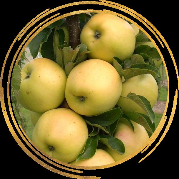 Саженец яблони колоновидной Черемош: фото и описание