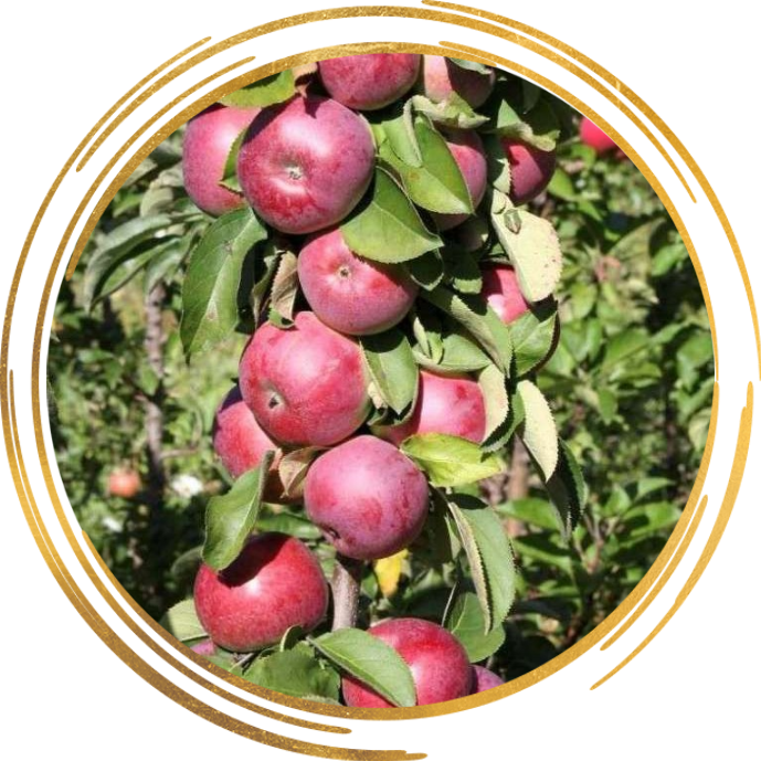 Саженец яблони колоновидной Есения: фото и описание