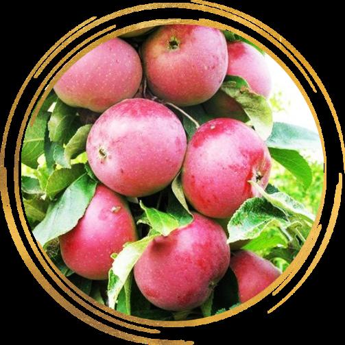 Саженец яблони колоновидной красноцветковая Гранатовый Браслет: фото и описание
