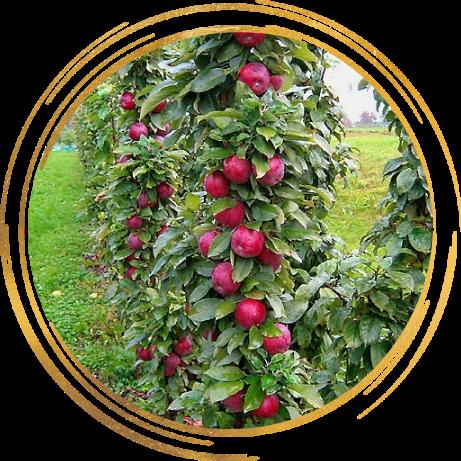 Саженец яблони колоновидной Московское Ожерелье: фото и описание