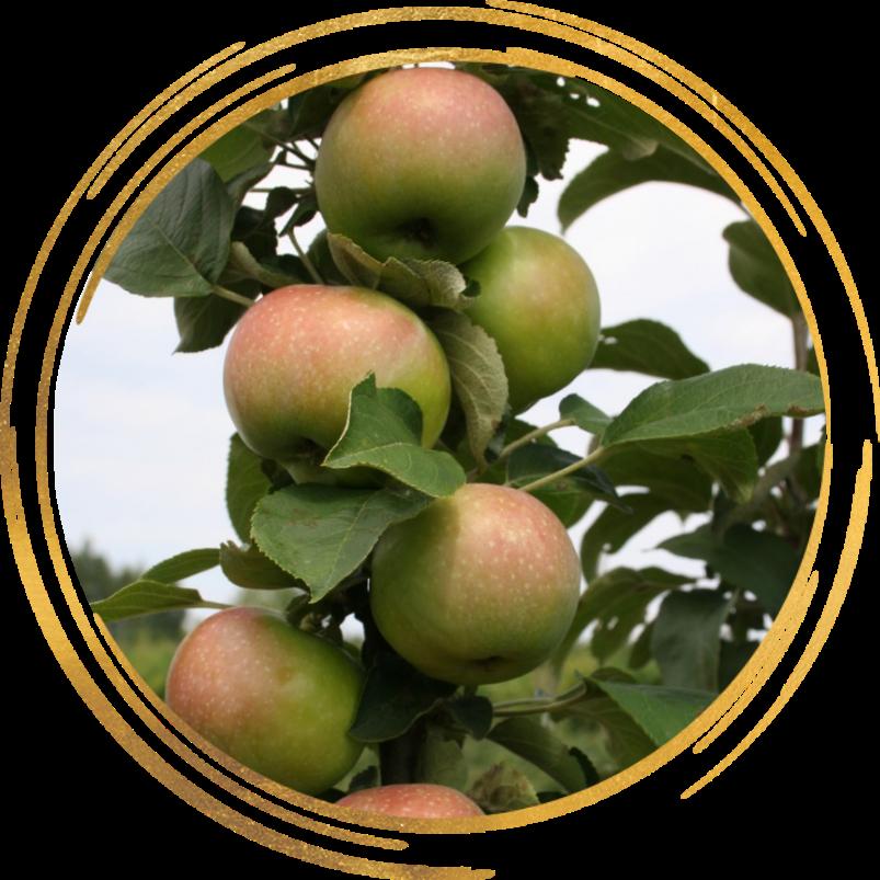 Саженец яблони колоновидной Телеймон: фото и описание