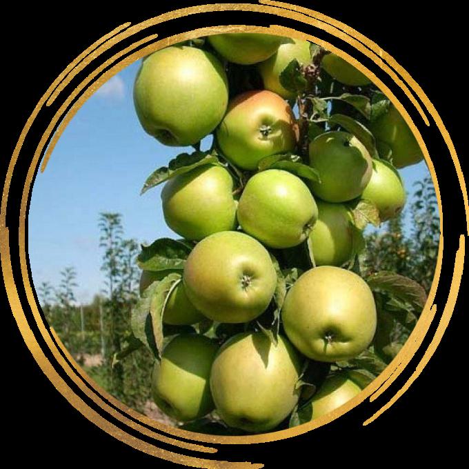 Саженец яблони колоновидной Трайдент: фото и описание