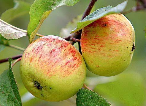 Саженец яблони Коричное полосатое: фото и описание