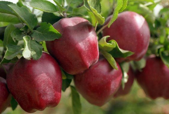 Саженец яблони Крепсон: фото и описание