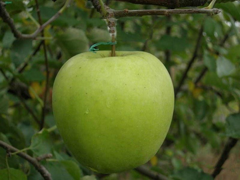 Саженец яблони Криспин: фото и описание