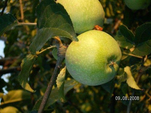 Саженец яблони Кутузовец: фото и описание