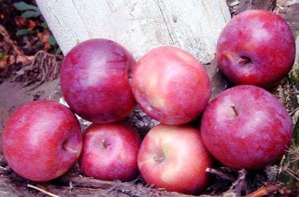 Саженец яблони Лобо: фото и описание