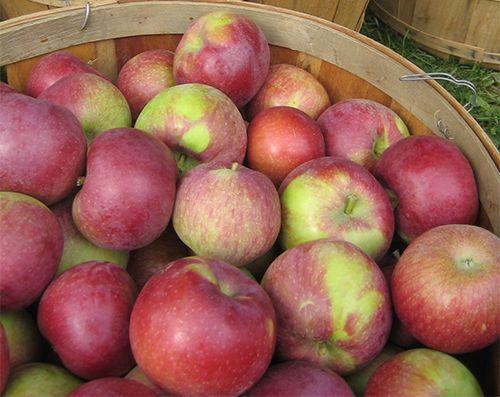 Саженец яблони Любава: фото и описание