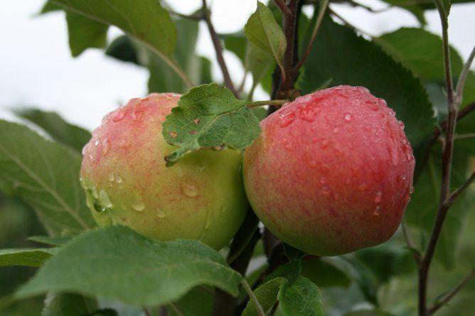 Саженец яблони Мантет: фото и описание