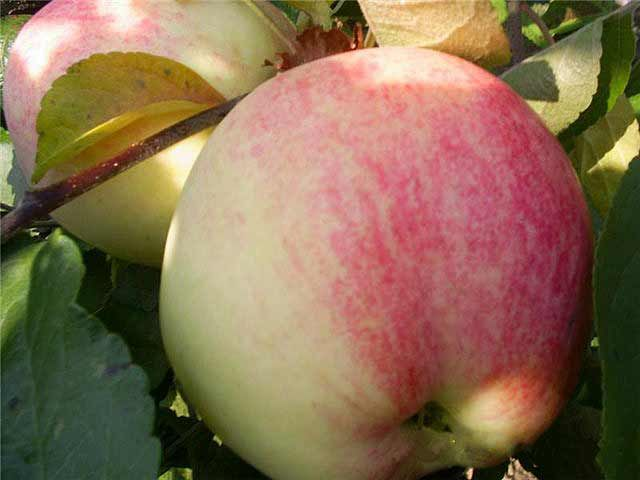 Саженец яблони Мельба: фото и описание