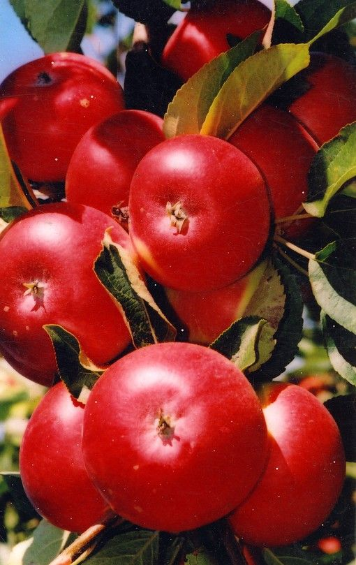 Саженец яблони Останкино (колоновидной): фото и описание
