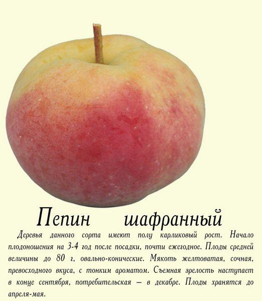 Саженец яблони Пепин шафранный: фото и описание