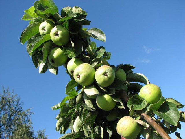 Саженец колоновидной яблони Президент: фото и описание
