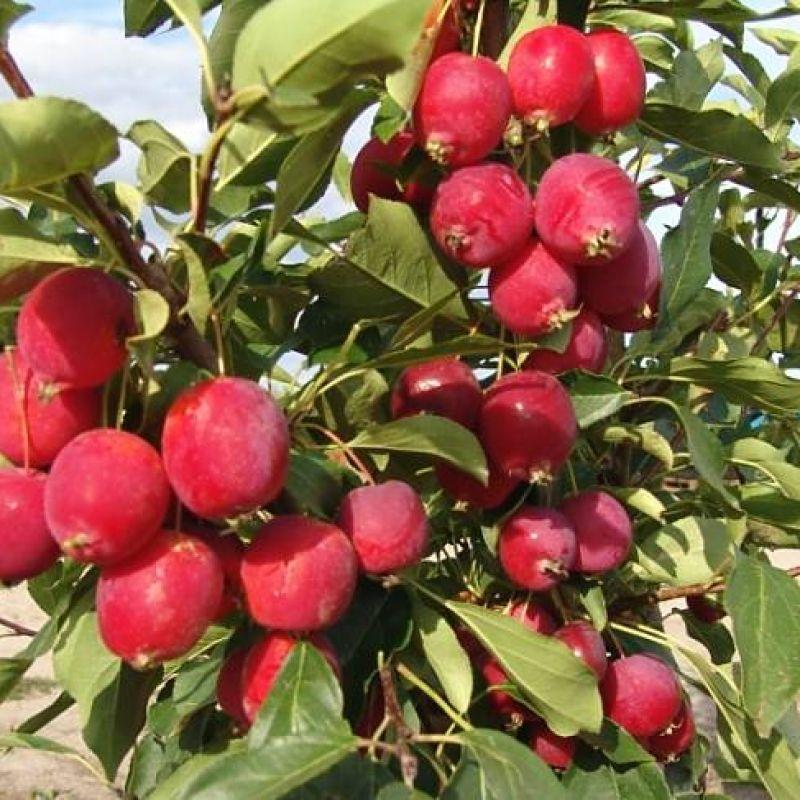 Саженец яблони Райка: фото и описание
