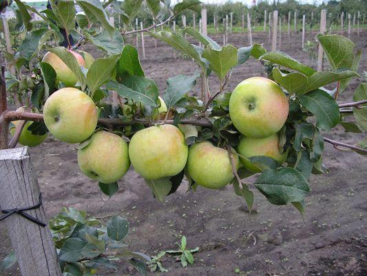 Саженец яблони Северный синап: фото и описание