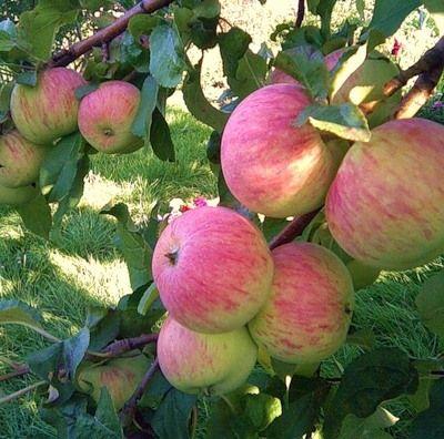 Саженец яблони Спартак: фото и описание