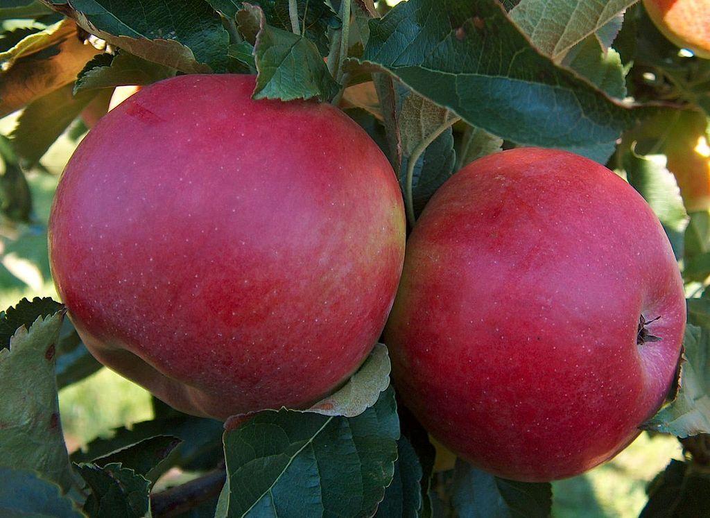 Саженец яблони Спартан: фото и описание