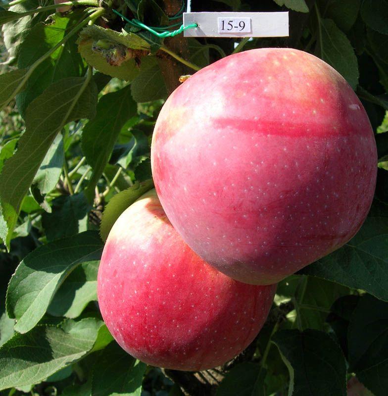 Саженец яблони Валюта (колоновидная): фото и описание