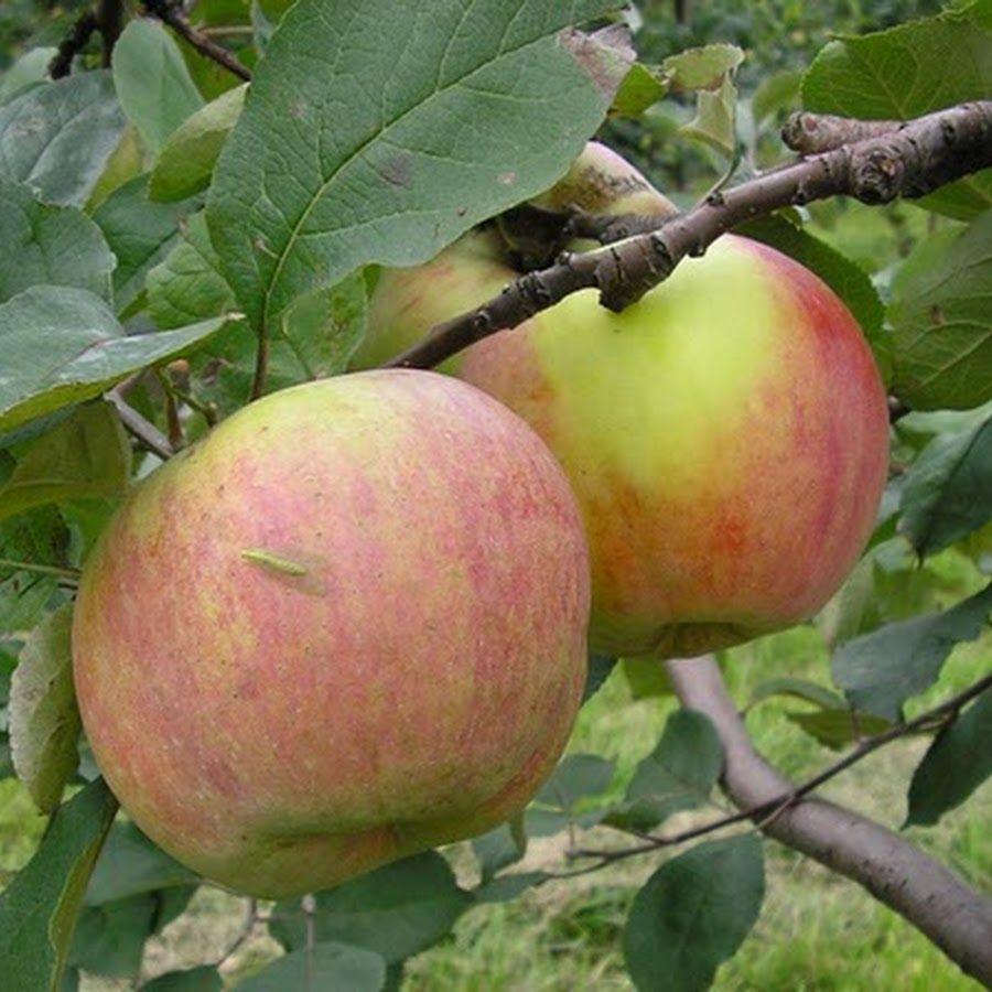 Саженец яблони Витязь: фото и описание