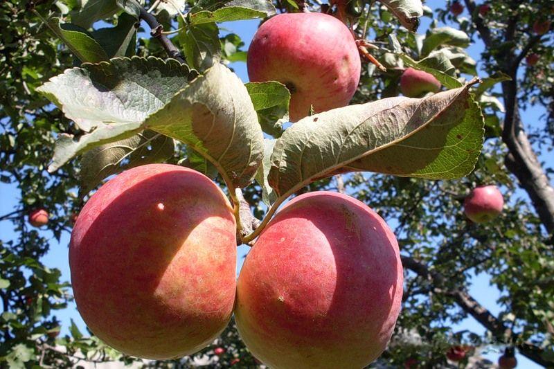 Саженец яблони Жигулевское: фото и описание