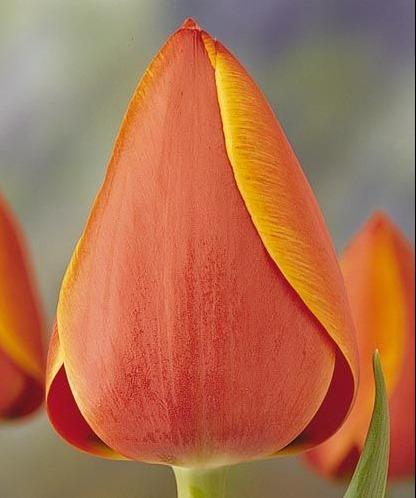 Срезка тюльпана Адд Рем 26000: фото и описание