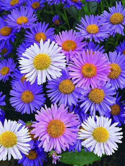 Астра Сапфировые бусы Арт. 5475 | Семена