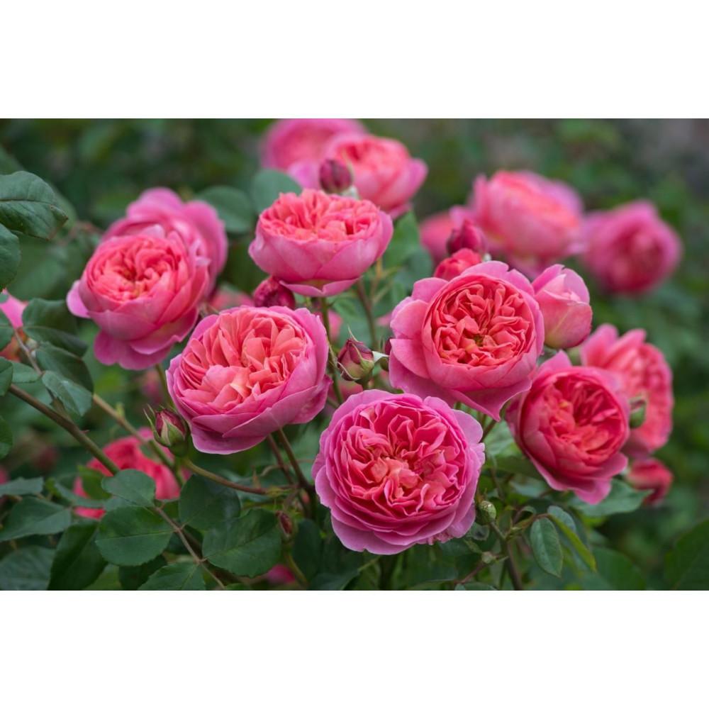 Роза парковая Леонардо да Винчи: фото и описание
